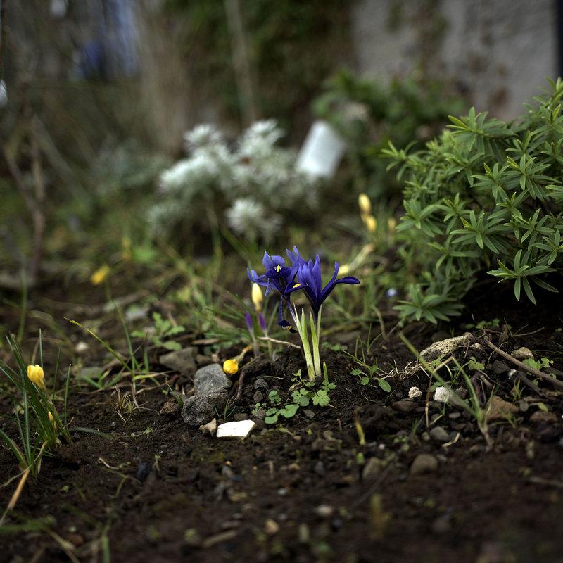 Hay Globe bloom rev2.jpg